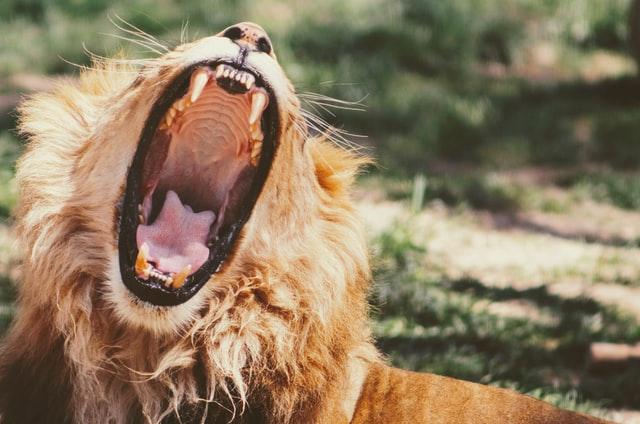lion avec gueule ouverte